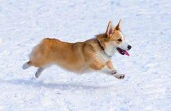 Pembroke Welsh Corgi. Dog breed Welsh Corgi Pembroke runs through snow Royalty Free Stock Photos