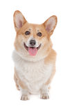 Pembroke Welsh Corgi Stock Images