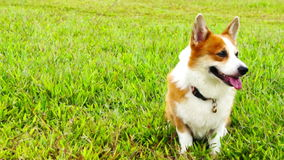 Pembroke Welsh Corgi video estoque