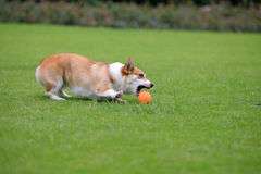 Pembroke Welsh Corgi Royalty Free Stock Image