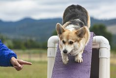 Pembroke Welsh Corgi Agility Dog on the Bridge Ogstacle stock images