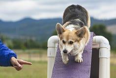 Pembroke Welsh Corgi Agility Dog på bron Ogstacle arkivbilder