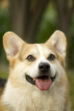 Pembroke Welsh Corgi Close Up Royalty Free Stock Image