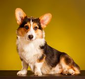 Pembroke Welsh Corgi, Corgi de Galês do cão Imagens de Stock Royalty Free