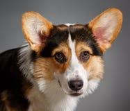 Pembroke Welsh Corgi, Corgi de Galês do cão Imagem de Stock