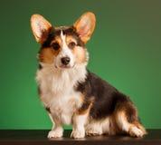 Pembroke Welsh Corgi, Corgi de Galês do cão Imagem de Stock Royalty Free