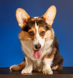 Pembroke Welsh Corgi, corgi de Gallois de chien Images stock