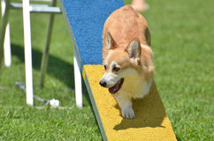 Pembroke Welsh Corgi at a Dog Agility Trial. Pembroke Welsh Corgi on Dog Walk at a Dog Agility Trial Royalty Free Stock Photo