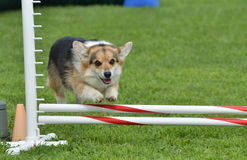 Pembroke Welsh Corgi at a Dog Agility Trial. Tricolor Pembroke Welsh Corgi Leaping Over a Jump at a Dog Agility Trial Stock Photo