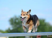 Pembroke Welsh Corgi at a Dog Agility Trial Royalty Free Stock Images