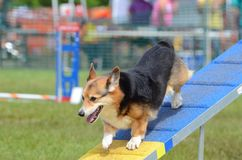 Pembroke Welsh Corgi at a Dog Agility Trial Royalty Free Stock Image