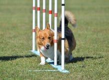 Pembroke Welsh Corgi at Dog Agility Trial Stock Photo