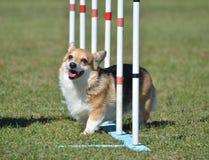 Pembroke Welsh Corgi at Dog Agility Trial Stock Photos