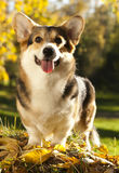 Pembroke welsh corgi dog Stock Photography