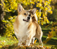 Pembroke welsh corgi dog Stock Images