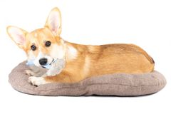 Pembroke Welsh Corgi in a dog bed stock photography