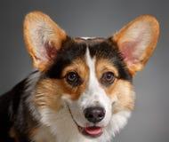 Pembroke Welsh Corgi, Dog Welsh Corgi Royalty Free Stock Image