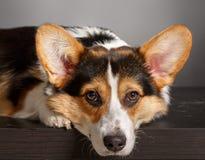 Pembroke Welsh Corgi, Dog Welsh Corgi Stock Images