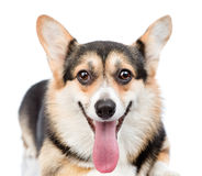 Pembroke Welsh Corgi dog looking at camera. isolated on white ba Stock Photography