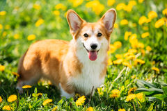 Pembroke Welsh Corgi Dog Puppy Playing In Green Summer Grass. Funny Pembroke Welsh Corgi Dog Puppy Playing In Green Summer Grass. Welsh Corgi Is A Small Type Of stock photography