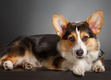 Pembroke Welsh Corgi, Dog Welsh Corgi Stock Photography