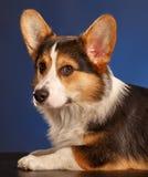 Pembroke Welsh Corgi, Dog Welsh Corgi Royalty Free Stock Photos