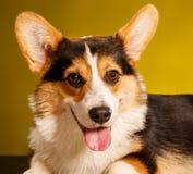 Pembroke Welsh Corgi, Dog Welsh Corgi Royalty Free Stock Photography