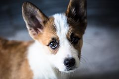 The Pembroke Welsh Corgi. Hails from Pembrokeshire, Wales, where, according to legend, it served as a steed for fairies & x28; hence the saddle-like pattern on Royalty Free Stock Image