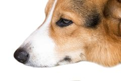 Pembroke Welsh Corgi isolate on white background,front view , Clipping path royalty free stock images