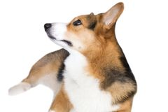 Pembroke Welsh Corgi isolate on white background,front view , Clipping path royalty free stock photography