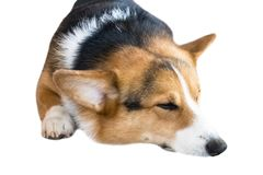 Pembroke Welsh Corgi isolate on white background,front view ,Clipping path royalty free stock image