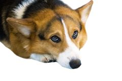 Pembroke Welsh Corgi isolate on white background,front view , Clipping path royalty free stock image