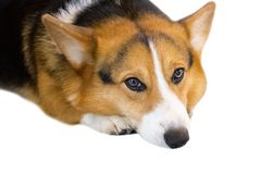 Pembroke Welsh Corgi isolate on white background,front view , Clipping path stock images