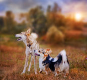 Pembroke Welsh corgi and Laika portrait Royalty Free Stock Image
