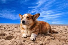 Pembroke Welsh Corgi Lying on the Sand Under White Cloud Blue Sky Royalty Free Stock Images
