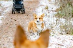 Pembroke Welsh Corgi Młody energiczny pies chodzi w lesie zdjęcie royalty free