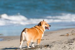 Pembroke Welsh Corgi på hundstranden i San Diego, Kalifornien royaltyfri bild