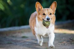 Pembroke Welsh Corgi Playing With-Tennisbal stock foto's