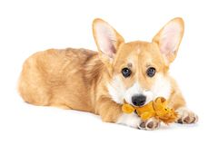 Pembroke Welsh Corgi playing with a toy royalty free stock photography