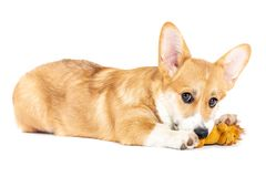 Pembroke Welsh Corgi playing with a toy royalty free stock photos