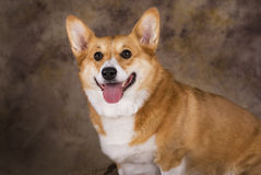 Pembroke Welsh Corgi Portrait Royalty Free Stock Photos