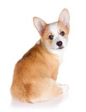 Pembroke Welsh Corgi puppy Royalty Free Stock Photo