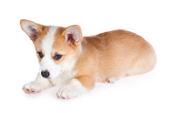 Pembroke Welsh Corgi puppy Royalty Free Stock Photography