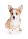 Pembroke Welsh Corgi puppy Stock Photos