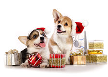 Pembroke Welsh Corgi-puppy Stock Foto