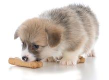 Pembroke welsh corgi puppy with dog bone. On white background Stock Photography