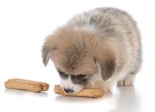 Pembroke welsh corgi puppy with dog bone. On white background Stock Photo