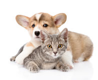 Pembroke Welsh Corgi puppy hugging cat. isolated on white Stock Images