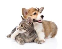 Pembroke Welsh Corgi puppy hugging cat. isolated on white background.  Stock Image