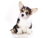 Pembroke Welsh Corgi puppy Royalty Free Stock Photos